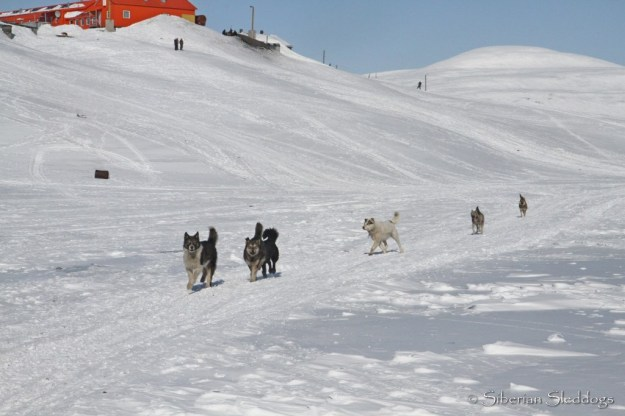 Chukchi dog welcome comittee in Yanrakynnot