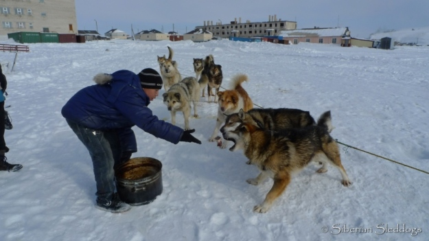 A boy in Uelen feeds one of the Chukchi teams